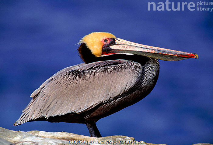 Brown pelican portrait, La Jolla CA USA, USA,PROFILE,COLOUR PHASE,SEABIRDS,WATER,HORIZONTAL,,COASTS,TV,BIRDS,PORTRAITS,NORTH AMERICA, Tom Vezo