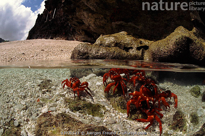 Christmas Island red crabs in shallow sea, Christmas Island. Split-level, ARTHROPODS,BEACHES,COASTAL WATERS,GROUPS,HORIZONTAL,JFR,MARINE,MIGRATION,SEA,SPLIT LEVEL,UNDERWATER, Jurgen Freund