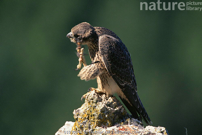 Peregrine falcon juvenile preening (Falco peregrinus) Germany, GERMANY,HORIZONTAL,JUVENILE,BIRDS,FOOT,DN,GROOMING,JUV,SCRATCHING,EUROPE,FALCONS,,PREENING ,BIRDS OF PREY, Dietmar Nill