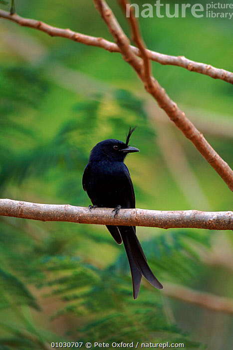 Fork tailed drongo on perch. Madagascar, BIRDS,BLACK,MADAGASCAR,PASSERINES,PLANTS,PO,PORTRAITS,TREES,VERTICAL, Pete Oxford
