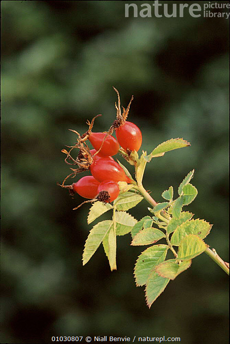 Dog rose (Rosa canina) hips. Brechin, Angus. Scotland, HIPS,NB,ANGUS,BRECHIN,FRUIT,ROSES,SCOTLAND,PLANTS,ENGLAND,VERTICAL,HEDGEROWS,RED,EUROPE, Niall Benvie