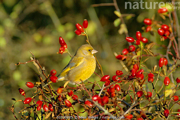 Greenfinch amongst rose hips. UK (Carduelis chloris) UK, AUTUMN,BIRD,BIRDS,BRITISH,ENGLAND,FINCHES,FRUIT,MW,ONE,UK,WILDLIFE,EUROPE,UNITED KINGDOM,PLANTS, Mike Wilkes