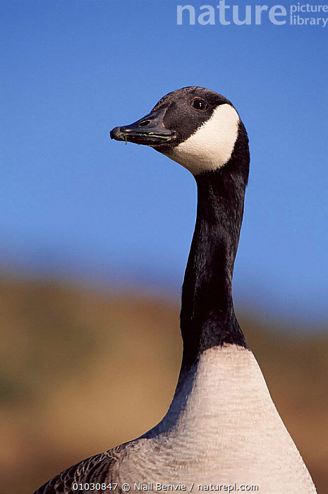 Canada goose head portrait, Scotland, UK, NECK,HEADS,SCOTLAND,NB,WATERFOWL,EUROPE,BIRDS,UK,VERTICAL,PORTRAITS,UNITED KINGDOM,BRITISH,WILDFOWL,North America, waterfowl, Niall Benvie