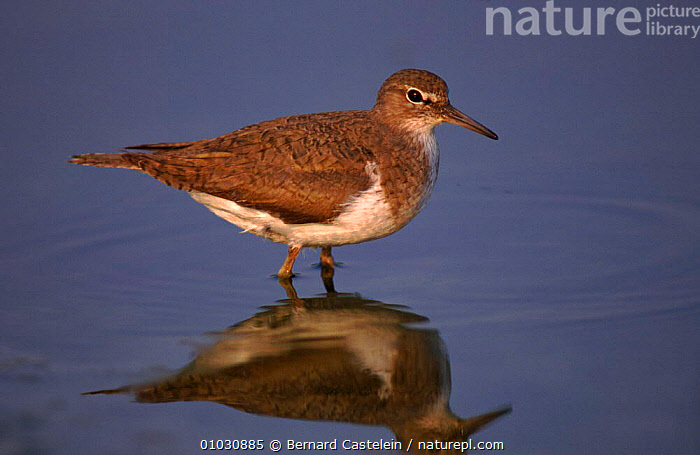 Common sandpiper wading, Belgium, Europe, BIRDS,WADERS,WATER,HORIZONTAL,BC,EUROPE,BELGIUM,PORTRAITS,, Bernard Castelein
