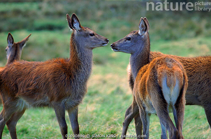 Red deer does. UK, UK,MAMMALS,EUROPE,FEMALES,HORIZONTAL,ARTIODACTYLA,SCOTLAND,SK,UNITED KINGDOM,BRITISH, SIMON KING