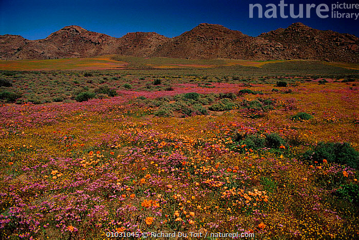 Spring flower scene Namaqualand, near Springbok, South Africa, NAMAQUALAND,ATMOSPHERIC,ORANGE,SPRINGBOK,FLOWERS,GROUPS,HORIZONTAL,VERTICAL,MIXED SPECIES,PLANTS,SPRING,COLOURFUL,OUTSTANDING,GROWTH,CONCEPTS, Richard Du Toit