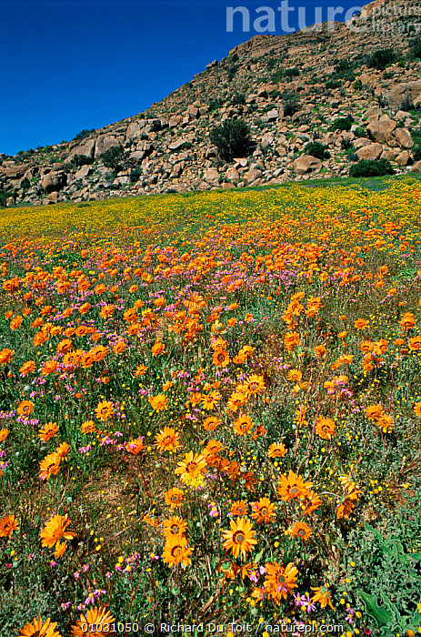 Spring flowers in bloom, Nr Springbok, Namaqualand, South Africa, AFRICA,DESERTS,FLOWERS,GROUPS,LANDSCAPES,MIXED SPECIES,ORANGE,PLANTS,SOUTHERN AFRICA,SPRING,VERTICAL, Richard Du Toit
