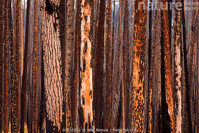 Fire damaged pine trees at Dunraven Pass, Yellowstone NP. North America, ABSTRACT,ARTY SHOTS,BARK,DAMAGE,FIRE,NATIONAL PARK,NB,NORTH AMERICA,NP,PASS,PATTERNS,PINE,PLANTS,TREES,TRUNKS,WOOD,YELLOWSTONE,USA, Niall Benvie