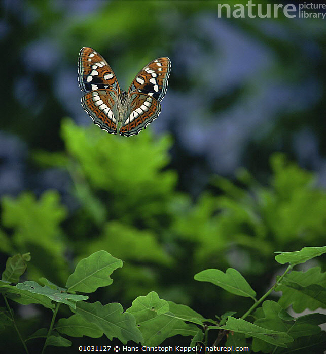 Poplar Admiral butterfly (Limenitis populi) in flight, Germany, captive  ,  ARTHROPODS,BUTTERFLIES,FLYING,GERMANY,INSECTS,INVERTEBRATES,LEAVES,LEPIDOPTERA,PORTRAITS,WINGS,Europe,Catalogue1  ,  Hans Christoph Kappel