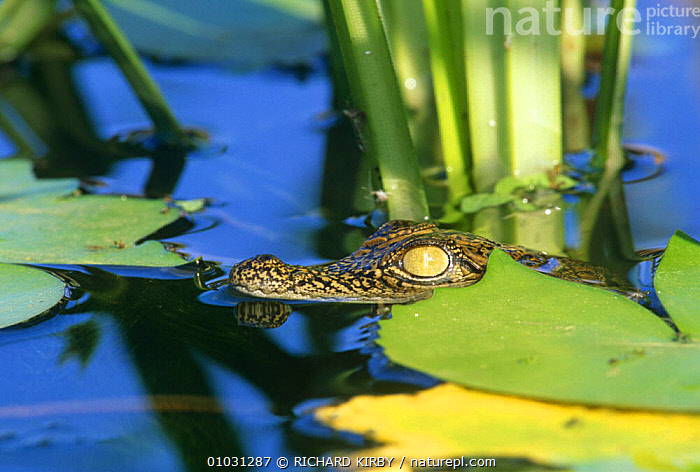 Nile crocodile baby amongst water lilies (Crocodylus niloticus) South Africa  ,  AFRICA,AQUATIC,BABIES,CROCODILES,CROCODILIANS,FRESHWATER,HEADS,JUVENILE,PLANTS,REPTILES,SOUTHERN AFRICA,SURFACE,VERTEBRATES,WATER,YOUNG,Crocodylia, Crocodiles  ,  RICHARD KIRBY