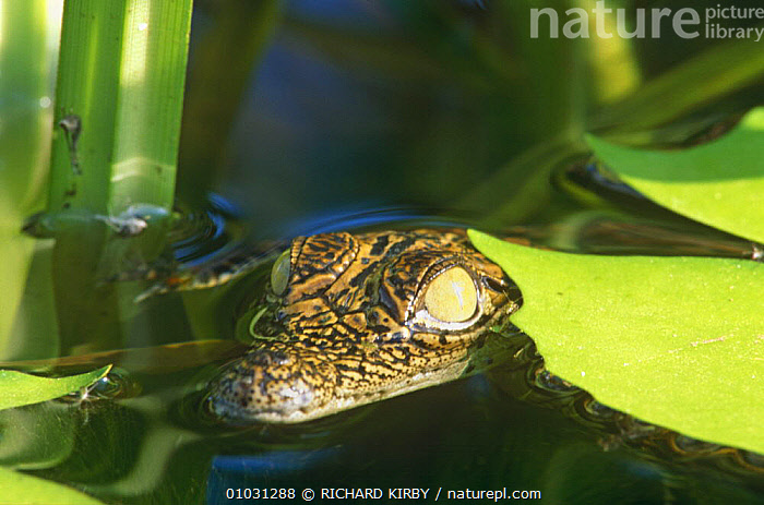 Nile crocodile baby amongst water lilies (Crocodylus niloticus) South Africa  ,  AFRICA,BABIES,CROCODILES,CROCODILIANS,HEADS,JUVENILE,REPTILES,SOUTHERN AFRICA,SURFACE,VERTEBRATES,WATER,WETLANDS,YOUNG,Crocodylia, Crocodiles  ,  RICHARD KIRBY