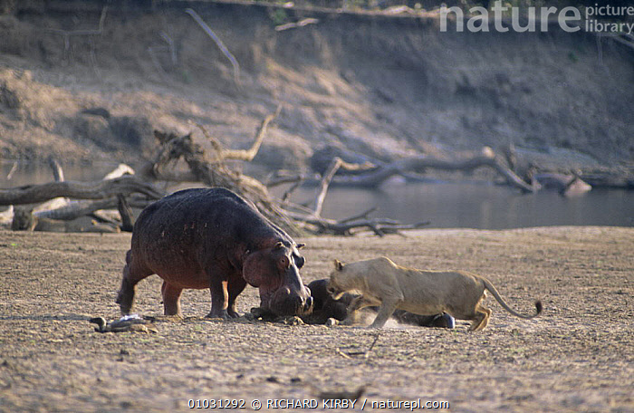 Hippopotamus (Hippopotamus amphibius) and lion (Panthera leo) dispute over carcass. Luangwa, Zambia  ,  AFRICA,ARTIODACTYLA,BEHAVIOUR,FEEDING,HIPPOPOTAMUSES,INTERESTING,MAMMALS,MIXED SPECIES,SCAVENGING,SOUTHERN AFRICA,VERTEBRATES  ,  RICHARD KIRBY