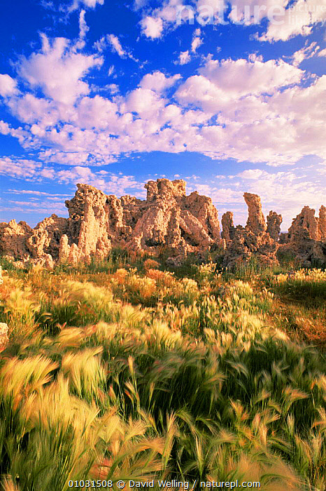 Tufa towers and summer wavy grass on edge of Mona Lake NP, California, USA, CLOUDS,GRASSES,LAKES,LANDSCAPES,limestone,NORTH AMERICA,RESERVE,ROCK FORMATIONS,SALT,USA,VERTICAL,Weather,Geology, David Welling