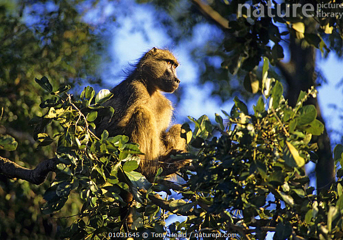 Chacma baboon rests in tree. (Papio ursinus) Kruger NP, South Africa, BABOONS,MAMMALS,MONKEYS,NP,PLANTS,PORTRAITS,PRIMATES,SOUTHERN AFRICA,SUNRISE,TREES,TROPICAL DRY FOREST,VERTEBRATES,National Park, Tony Heald