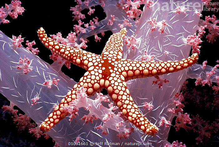 Red mesh starfish {Fromia monilis} on {Dendronephthya sp} coral at night, Red Sea., MIXED SPECIES,RED SEA,COLOURFUL,EGYPT,ANTHOZOANS,FROMIA,ECHINODERMS,SOFT,CORAL REEFS,NORTH AFRICA,SPOTS,ALCYNARIAN,MONOLIS,MARINE,SEASTAR,Africa,Invertebrates, Jeff Rotman