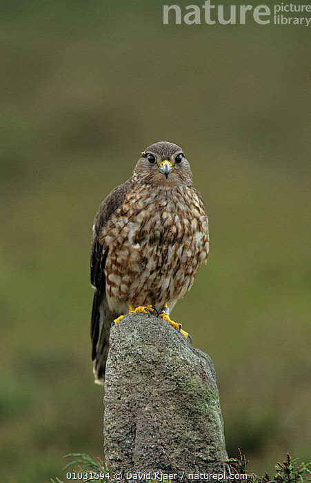 Female Merlin (Falco columbarius) perched on rock,  North Yorkshire, UK, BIRDS,BIRDS OF PREY,ENGLAND,FALCONS,FEMALES,PORTRAITS,UK,VERTEBRATES,VERTICAL,Europe, United Kingdom, David Kjaer