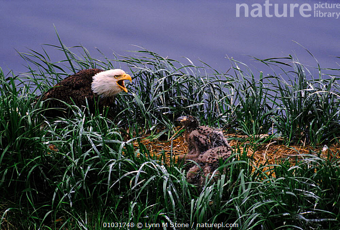 American bald eagle and nestlings (Haliaeetus leucocephalus) Aleutian Island, Alaska, PARENTAL,NESTLINGS,ISLAND,ALEUTIAN,BIRDS,HORIZONTAL,BABIES,NESTS,VOCALISATION,ALASKA,GROUND,,PROTECTION,USA ,BIRDS OF PREY,NORTH AMERICA,EAGLES,RAPTOR, Lynn M Stone
