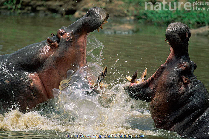 Hippos fight in water Masai Mara Kenya (Hippopotamus amphibius), MALES,RIVERS,FIGHTING,HIPPOPOTAMUSES,PUBLICITY,OUTSTANDING,AGGRESSION,DRAMATIC,MAMMALS,EAST AFRICA,Africa,Concepts, Anup Shah