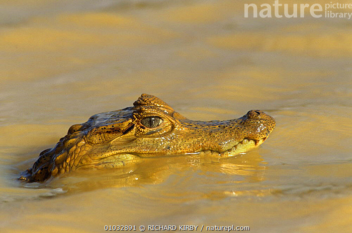 Semi submerged Spectacled caiman (Caiman crocodilus) Venezuela Llanos, South America  ,  ALLIGATORS,AQUATIC,CROCODILIANS,EYES,FRESHWATER,HEADS,PROFILE,REPTILES,SOUTH AMERICA,SURFACE,VERTEBRATES,Crocodylia, Caimans  ,  RICHARD KIRBY