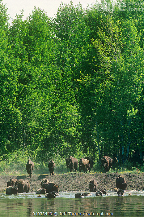 Wood bison (Bison bison athabascae) entering water, Wood Buffalo NP, Alberta, Canada  ,  ARTIODACTYLA,BOVIDS,BUFFALOS,CANADA,GROUPS,MAMMALS,NORTH AMERICA,NP,RESERVE,TREES,VERTEBRATES,VERTICAL,WATER,National Park,PLANTS,Cattle  ,  Jeff Turner