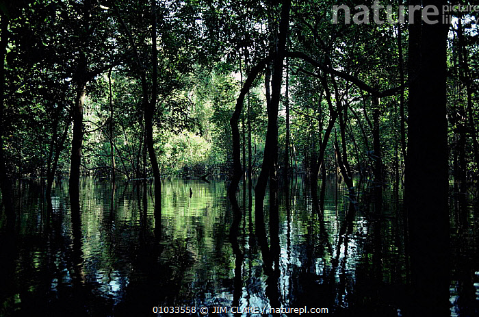 Interior of flooded forest, Tefe, Amazonia, Brazil.  ,  AMAZON,AMAZONIA,AMERICA,FLOODED,FOREST,HORIZONTAL,JC,PLANTS,RIVERS,SOUTH,TEFE,TREES,TROPICAL RAINFOREST,WATER,WET SEASON,SOUTH-AMERICA  ,  JIM CLARE