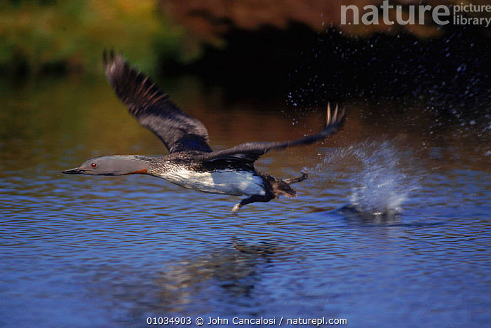 Red throated diver (Gavia stellata) taking off Shetland Isles  ,  FLYING,,OFF,ACTION,BIRDS,OUTSTANDING,FRESHWATER,JCA,DIVERS,SCOTLAND,ISLES,SHETLAND,HORIZONTAL,TAKE,OFF,EUROPE,WATERFOWL ,LAKES  ,  John Cancalosi