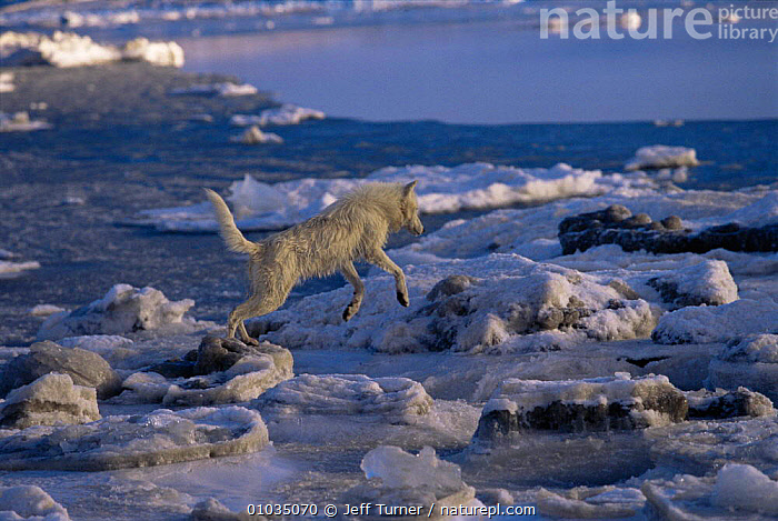 White Arctic race female Grey wolf (Canis lupus) leaping across melting ice floes, Ellesmere Island, Canada. Wild  ,  ACTION,ARCTIC,CANADA,CANIDS,CARNIVORES,COLOUR CHANGES,FEMALES,HABITAT,ICE,ICEBERGS,icefloes,JUMPING,MAMMALS,north america,VERTEBRATES,WOLVES,Dogs  ,  Jeff Turner