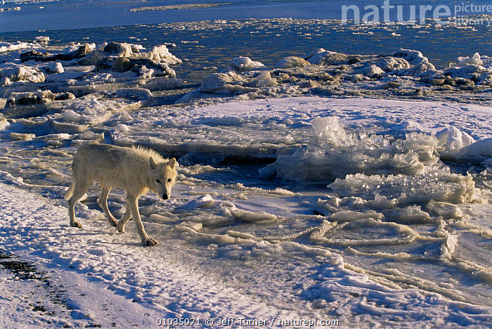 Adult female white Arctic race of Grey wolf (Canis lupus) walking along ice habitat, Ellesmere Island, Canada. Wild  ,  ARCTIC,CANADA,CANIDS,CARNIVORES,COLOUR CHANGES,FEMALES,Frozen,ICE,MAMMALS,north america,VERTEBRATES,WOLVES,Dogs  ,  Jeff Turner