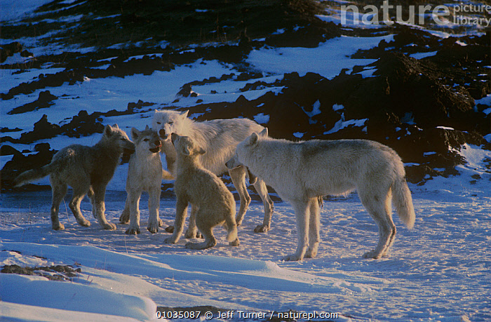 Grey wolf (Canis lupus) white arctic race, pups begging for food, Ellesmere Island, Canada  ,  ARCTIC,BABIES,BEHAVIOUR,CANADA,CANIDS,CARNIVORES,FAMILIES,FEEDING,GROUPS,MAMMALS,NORTH AMERICA,PARENTAL,SNOW,VERTEBRATES,WOLVES  ,  Jeff Turner