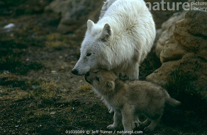 Grey wolf {Canis lupus} (white arctic race) mother with pup begging for food, Ellesmere Island, Canada  ,  ARCTIC,BABIES,BEHAVIOUR,CANADA,CANIDS,CARNIVORES,COLOUR CHANGES,FEEDING,FEMALES,HUNGRY,MAMMALS,MOTHER,NORTH AMERICA,PARENTAL,PUPS,SNOW,VERTEBRATES,WOLVES,Concepts,Dogs  ,  Jeff Turner