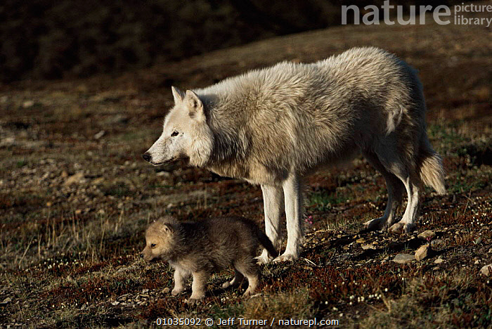 Grey wolf mother and pup near den (Canis lupus) Ellesmere Island, Canada.  Wild white Arctic race.  ,  ARCTIC,BABIES,CANADA,CANIDS,CARNIVORES,CUTE,FEMALES,MAMMALS,MOTHER,north america,PARENTAL,VERTEBRATES,Wild,WOLVES,Dogs  ,  Jeff Turner