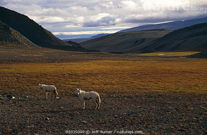 Grey / White arctic race wolf yearlings {Canis lupus} Ellesmere Island, Canada.  ,  CANADA,CANIDS,CARNIVORES,COLOUR CHANGES,JUVENILE,LANDSCAPES,MAMMALS,TWO,VERTEBRATES,WOLVES,North America,Dogs  ,  Jeff Turner