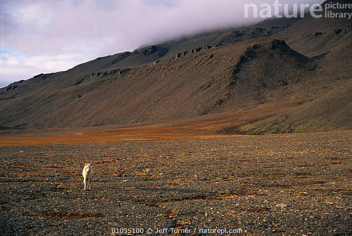 White Arctic race Grey wolf yearling (Canis lupus) walking in barren landscape, Ellesmere Island, Canada. Wild  ,  ARCTIC,CANADA,CANIDS,CARNIVORES,COLOUR CHANGES,HABITAT,immature,JUVENILE,LANDSCAPES,MAMMALS,north america,single,solitary,subadult,VERTEBRATES,WOLVES,Dogs  ,  Jeff Turner