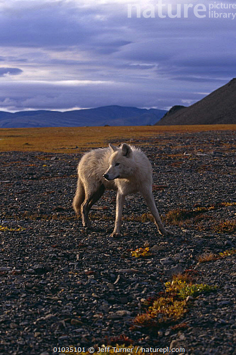 Grey wolf {Canis lupus} yearling (White Arctic race) Ellesmere Island, Canada  ,  ARCTIC,CANADA,CANIDS,CARNIVORES,COLOUR CHANGES,IMMATURE,JUVENILE,LANDSCAPES,MAMMALS,NORTH AMERICA,SUBADULT,VERTEBRATES,VERTICAL,WOLVES,Dogs  ,  Jeff Turner