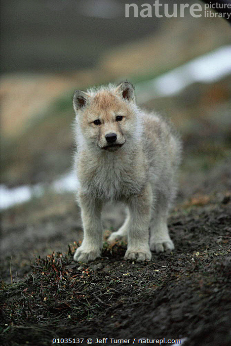 White Arctic race tiny Grey wolf pup (Canis lupus)  Ellesmere Island, Canada. Wild  ,  ARCTIC,BABIES,CANADA,CANIDS,CARNIVORES,COLOUR CHANGES,CUTE,JUVENILE,MAMMALS,north america,pups,TINY,VERTEBRATES,WOLVES,young,Dogs  ,  Jeff Turner