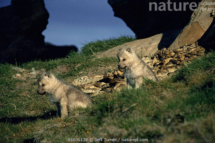 Two wild pups of Arctic white form of Grey wolf (Canis lupus) Ellesmere Island, Canada  ,  ARCTIC,BABIES,CANADA,CANIDS,CARNIVORES,CUBS,CUTE,den,JUVENILE,MAMMALS,north america,Pair,POLAR,pups,two,VERTEBRATES,WOLVES,young,Dogs  ,  Jeff Turner