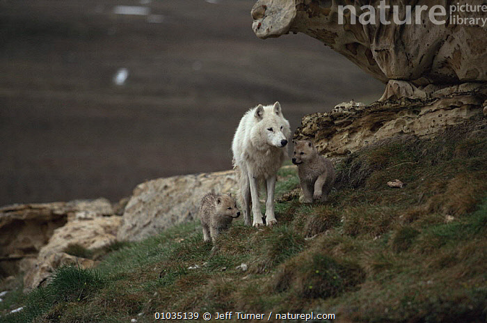 White arctic form of wild Grey wolf (Canis lupus) adult female with two pups, Ellesmere Island, Canada  ,  ARCTIC,BABIES,CANADA,CANIDS,CARNIVORES,COLOUR CHANGES,CUTE,FAMILIES,FEMALES,JUVENILE,MAMMALS,THREE,VERTEBRATES,WOLVES,North America,Dogs  ,  Jeff Turner