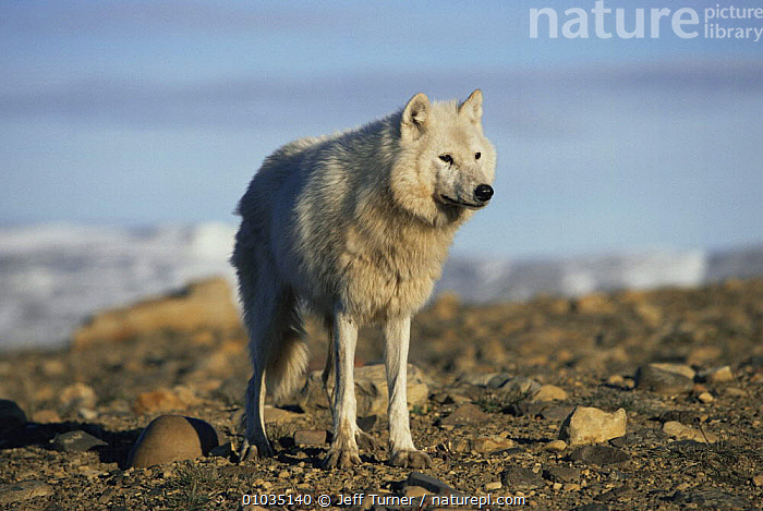 White arctic form of wild Grey wolf (Canis lupus) adult female, Ellesmere Island, Canada  ,  ARCTIC,CANADA,CANIDS,CARNIVORES,COLOUR CHANGES,FEMALES,MAMMALS,PORTRAITS,VERTEBRATES,WOLVES,North America,Dogs  ,  Jeff Turner