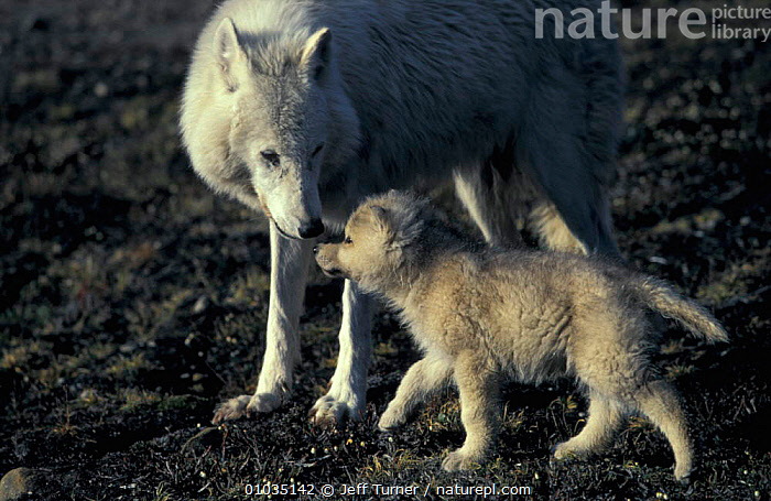 Grey wolf white Arctic form wild (Canis lupus) pup begging for food from mother. Ellesmere  ,  PUBLICITY,PARENTAL,WOLVES,WSBK,CANADA,,CARNIVORES,FEEDING,FAMILIES,FEMALES,MAMMALS,JUVENILE,ISLAND,MOTHER,NORTH AMERICA,DOGS,CANIDS  ,  Jeff Turner
