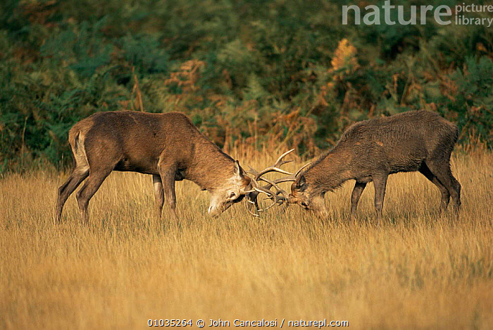 Red deer stags fighting during rut (Cervus elaphus) England  ,  ANTLERS,ARTIODACTYLA,AUTUMN,CERVIDS,DEER,DOMINANCE,ENGLAND,FIGHTING,MALES,MAMMALS,MATING BEHAVIOUR,RED,VERTEBRATES,Europe,Aggression,Concepts,Reproduction  ,  John Cancalosi