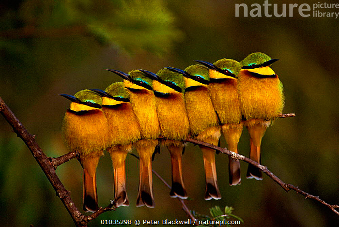 Seven Little Bee-eaters (Merops pusillus) in a row, one facing away, Masai Mara, Kenya.  ,  AFRICA,BEE,BEE EATER,BEE EATERS,BIRDS,COLOURFUL,CONCEPTS,CUTE,EAST AFRICA,EATERS,FRIENDSHIP,GREEN,HUMOROUS,INDIVIDUALITY,KENYA,MARA,MASAI,OUTSTANDING,PBL,PORTRAITS,ROW,SEVEN,YELLOW  ,  Peter Blackwell