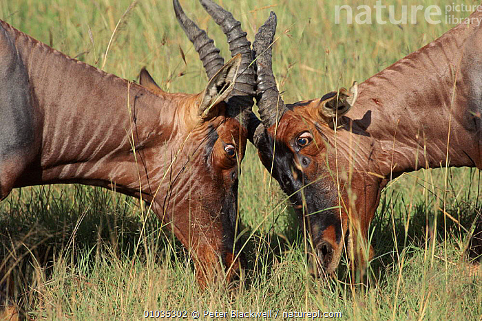 Topi males sparring, Masai Mara, Kenya  ,  ACTION,MASAI,TERRITORIAL,MARA,AFRICA,MALES,ARTIODACTYLA,ANTLERS,HORIZONTAL,MAMMALS,DOMINANCE,EAST AFRICA,KENYA,AGGRESSION,CLOSE UP,HEADS,PBL,CONCEPTS  ,  Peter Blackwell