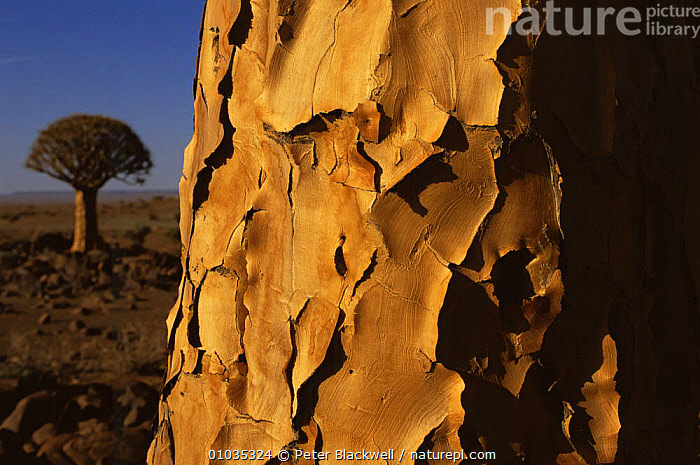 Close-up of Quiver tree bark (Aloe dichotoma), with another in the background. Quiver Tree Forest, Namibia  ,  BARK,CLOSE UPS,DESERTS,LANDSCAPES,LILIACEAE,MONOCOTYLEDONS,PATTERNS,PLANTS,SOUTHERN AFRICA,TREES,TWO  ,  Peter Blackwell