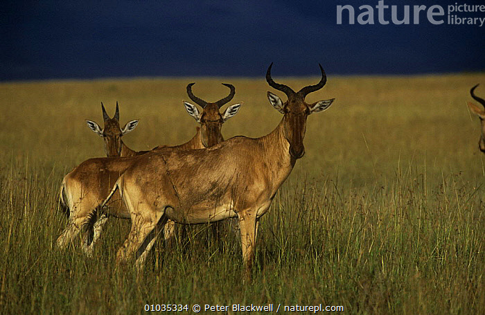 Hartebeest (Alcelaphus buselaphus) two adults and a juvenile, alert in savanna grassland under a dark sky, Maasai Mara, Kenya  ,  ANTELOPES,ARTIODACTYLA,BOVIDS,EAST AFRICA,FAMILIES,HARTEBEESTS,MAMMALS,STORMS,THREE,VERTEBRATES,Africa,Weather  ,  Peter Blackwell