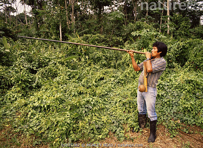 Achuar Indian using blowpipe and poison arrows. Amazonia, Ecuador  ,  HUNTING FOOD,PEOPLE,SOUTH AMERICA,TRADITIONAL,TRIBES,TROPICAL RAINFOREST  ,  MORLEY READ