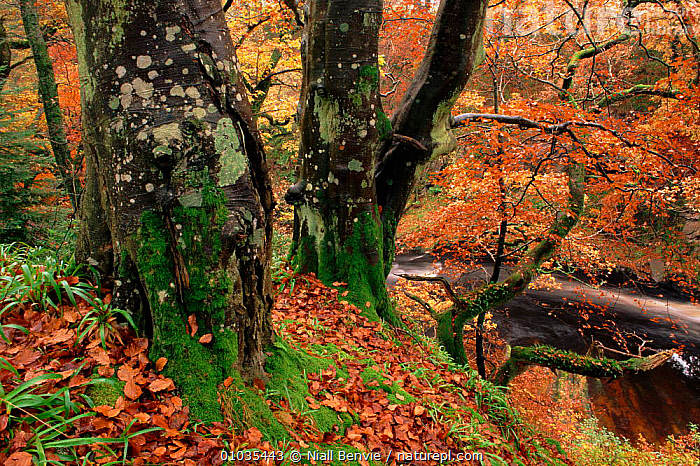 Beech woodland (Fagus sylvatica) and stream in autumn. Fife, Scotland, UK, Europe  ,  AUTUMN,COLOURS,HORIZONTAL,STREAM,OUTSTANDING,TREES,PLANTS,ATMOSPHERIC,SYLVATICA,LANDSCAPES,SCOTLAND,,WOODLANDS,FIFE,LEAVES ,RIVERS,EUROPE,UNITED KINGDOM,BRITISH  ,  Niall Benvie