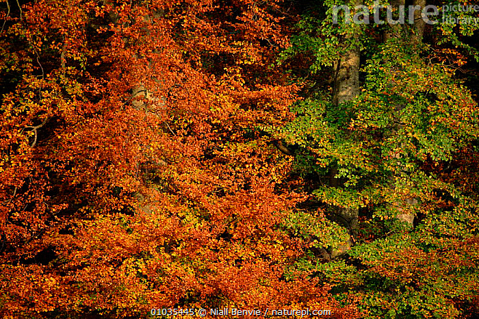 Beech leaves (Fagus sylvatica) in autumn. Fife, Scotland, UK, Europe  ,  EUROPE,HORIZONTAL,,WOODLANDS,SCOTLAND,AUTUMN,FIFE,PLANTS,LEAVES,TREES ,COLOUR CHANGES,UNITED KINGDOM,BRITISH  ,  Niall Benvie