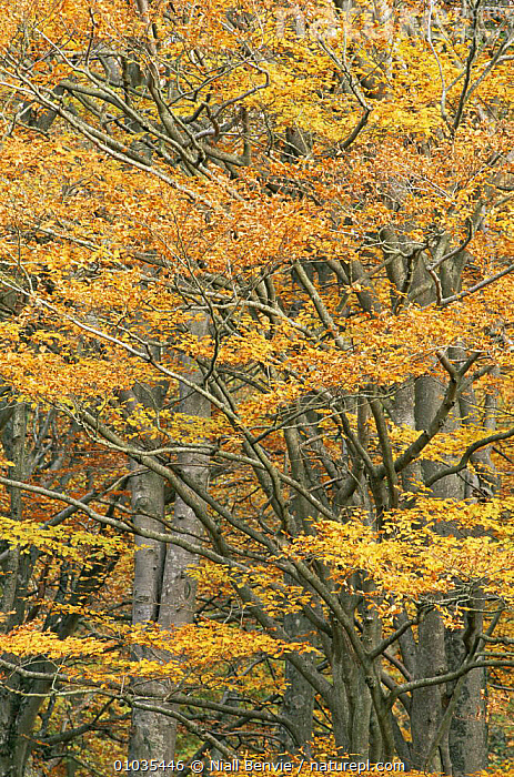 Autumnal leaves on European Beech {Fagus sylvatica} in woodland, Fife, Scotland.  ,  AUTUMN,BRANCHES,DICOTYLEDONS,FAGACEAE,LEAVES,PLANTS,SCOTLAND,TREES,WOODLANDS,Europe  ,  Niall Benvie