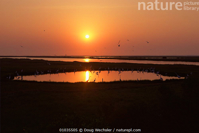 Saltmarsh pond at dawn with flying Terns and Egrets, Chincoteague, Virginia, USA  ,  BIRDS,DAWN,FLOCKS,HABITAT,LANDSCAPES,MARSHES,MIXED SPECIES,NORTH AMERICA,PEACEFUL,SALTMARSHES,SUN,SUNRISE,USA,WADING BIRDS,WETLANDS,Concepts  ,  Doug Wechsler
