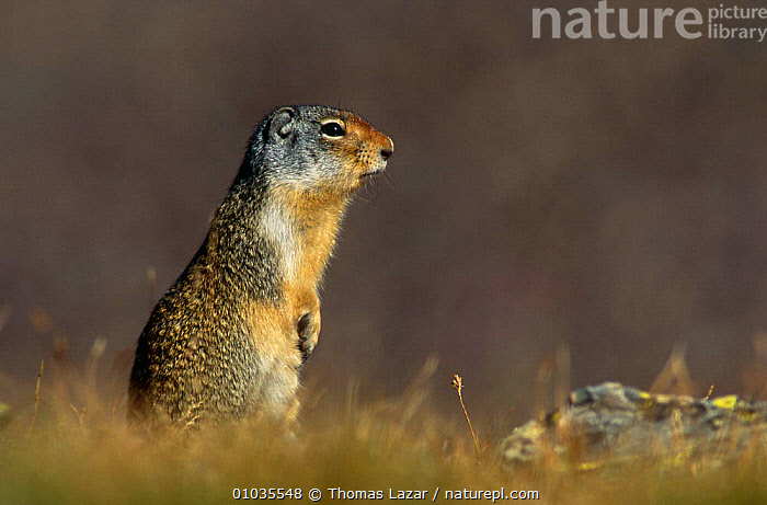 Columbian ground squirrel (Spermophilus columbianus) Glacier NP, Montana, USA  ,  ALPINE,GROUND SQUIRRELS,MAMMALS,PORTRAITS,RODENTS,SQUIRRELS,TUNDRA,USA,VERTEBRATES,VERTICAL,North America  ,  Thomas Lazar